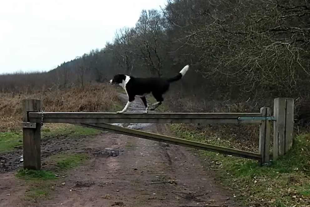 Collie Does PARKOUR